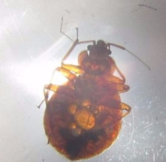 a picture of a infested bed bug in pleasanton, ca