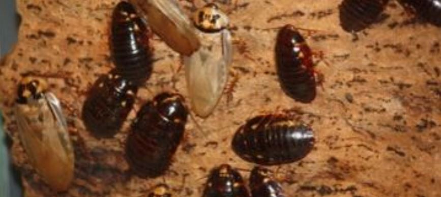 This is a picture of German cockroaches - Cockroach control near me (Pleasanton)