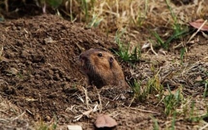 This is a picture of a gopher - Pleasanton, CA
