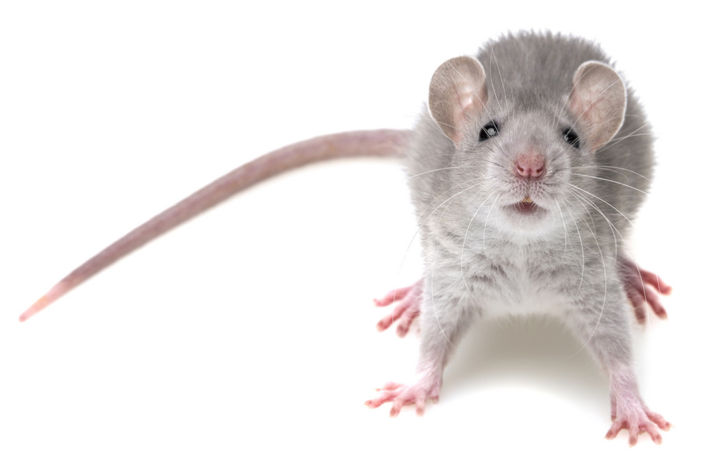 This is a picture of a mice - mice control Pleasanton