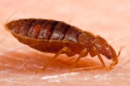 This is a picture of a bed bug- Pleasanton bed bug exterminator