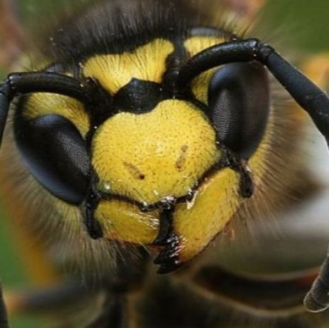an image of an infested yellow jacket in pleasanton