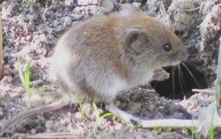 This is a picture of a vole - vole control Pleasanton, CA